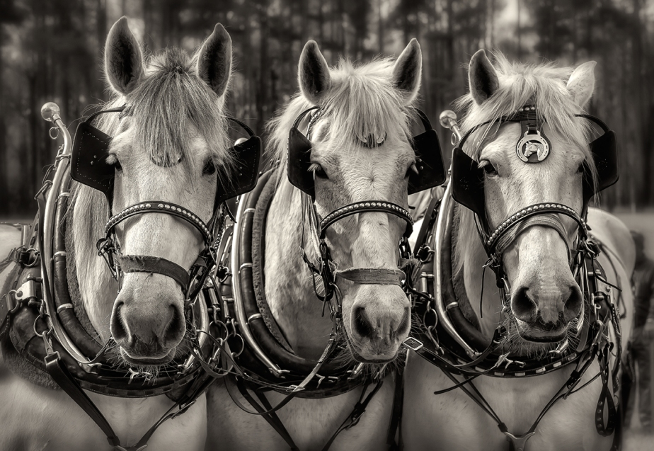 lillington_percheron heads