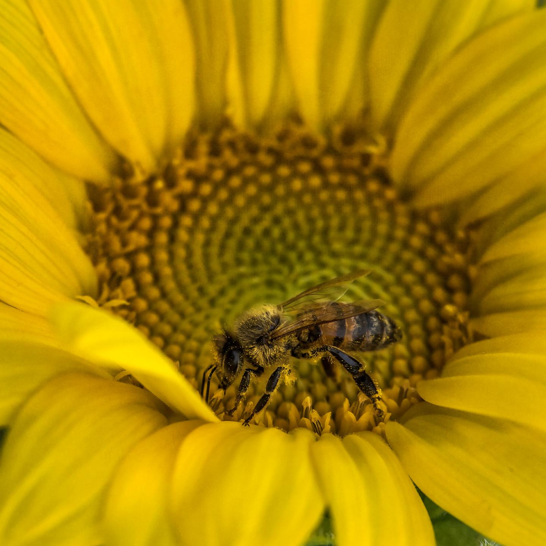 williams_09_24_18_sunflower_02