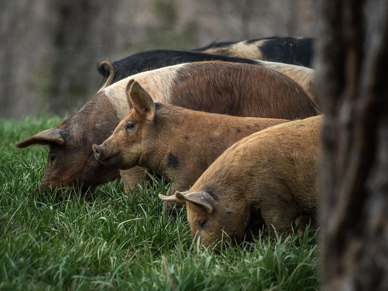 bowman_free range hogs_01