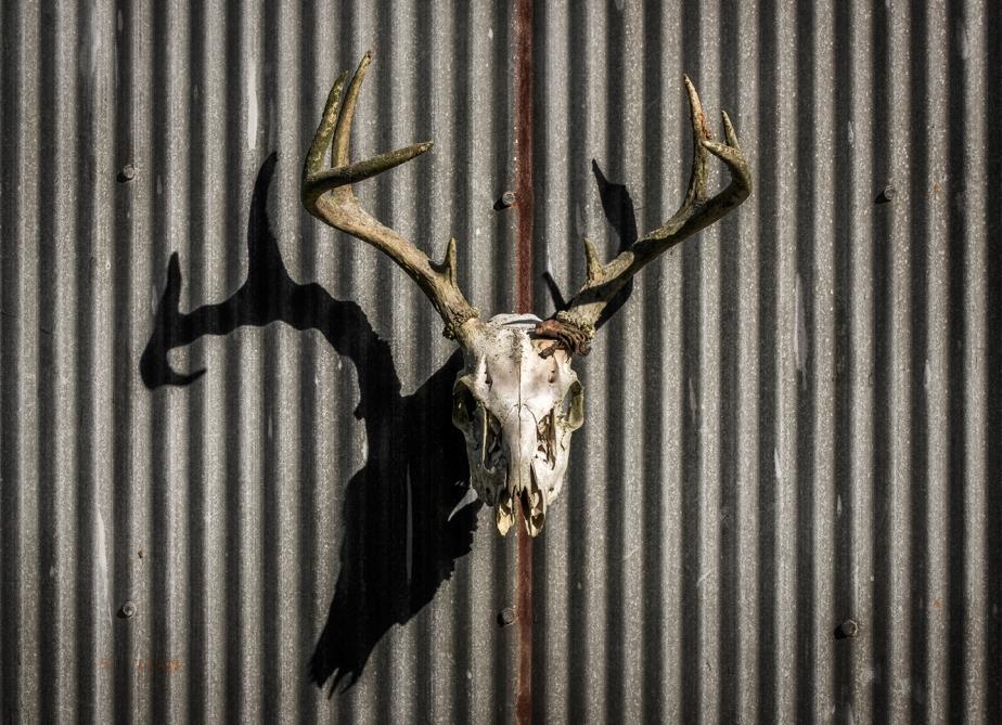 deer skull_oct_2018