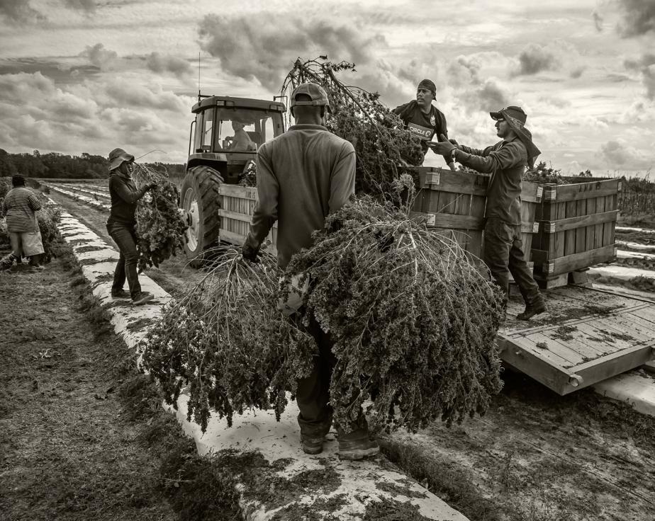 loading harvested hemp