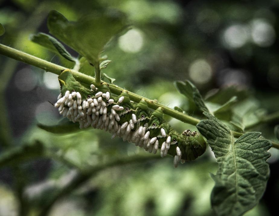 wasp larvae_tomato hook worm