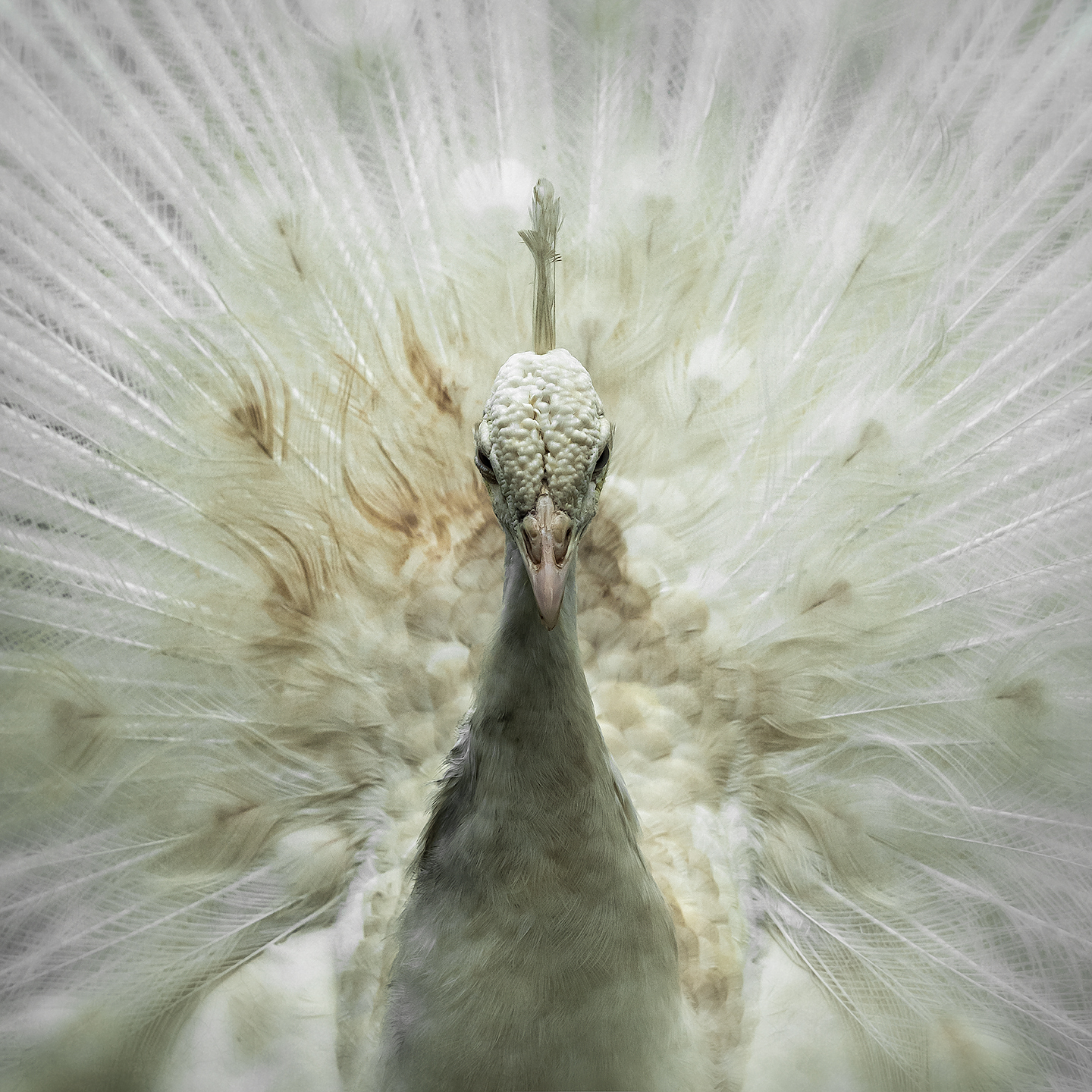 white peacock_head
