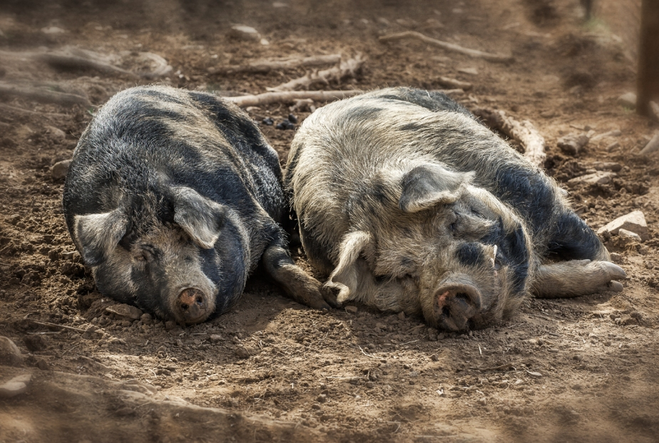 cane creek_ hogs napping