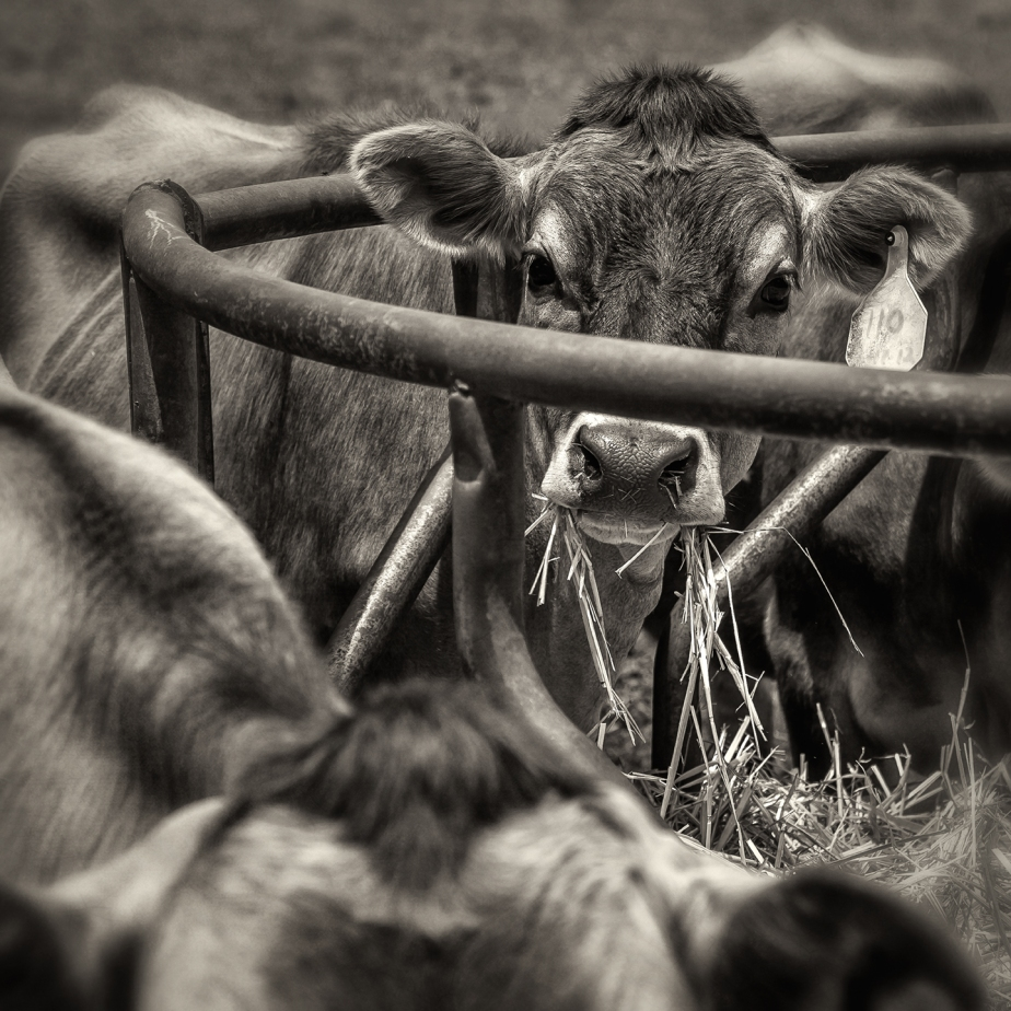 chapel hill creamery_heifers eating_hay ring